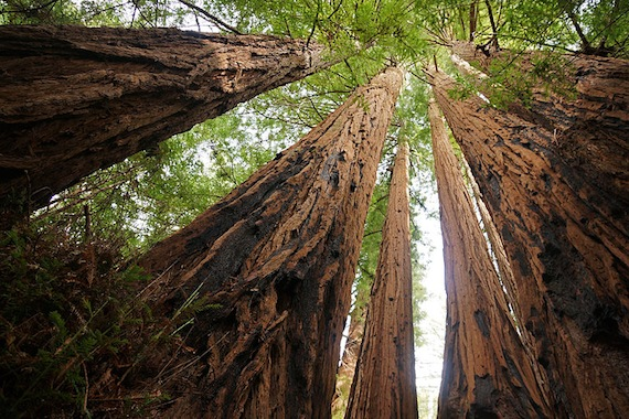 800px-Sequoia_sempervirens_Big_Basin_Redwoods_State_Park_4